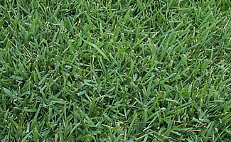 Amazoncom Zoysia Grass Plugs