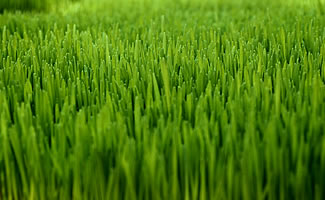 Seadwarf Seashore Paspalum For Golf Course Putting Greens